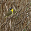 Common Yellowthroat <br /> Riverlands Migratory Bird Sanctuary