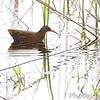 Virginia Rail <br /> Tricolored Heron Marsh (about)<br /> Riverlands Migratory Bird Sanctuary