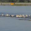 American White Pelicans <br /> Spillway <br /> Riverlands Migratory Bird Sanctuary