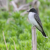 Eastern Kingbird <br /> Four Rivers Wildlife Area <br /> Western Missouri