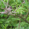Eastern Pewee <br /> Four Rivers Wildlife Area <br /> Western Missouri