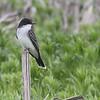 Eastern Kingbird <br /> Four Rivers Wildlife Area <br /> Western Missouri