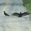 Turkey Vultures <br /> Hwy 52 <br /> Western Missouri