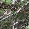 Swainson's Thrush <br /> Four Rivers Wildlife Area <br /> Western Missouri