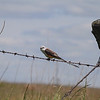 Scissor-tailed Flycatcher <br /> SW 1151 <br /> Borders west side of Wah-Kon-Tah Prairie<br /> Western Missouri