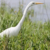 Great Egret <br /> Four Rivers Wildlife Area <br /> Western Missouri