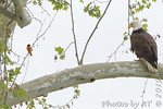 Bald Eagle and Baltimore Oriole