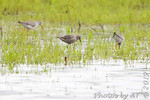 Stilt Sandpiper and Lesser Yellowlegs