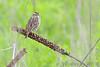 Savannah Sparrow <br /> Eagle Bluffs Conservation Area
