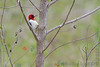 Red-headed Woodpecker <br /> Eagle Bluffs Conservation Area