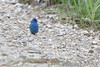 Indigo Bunting <br /> Eagle Bluffs Conservation Area