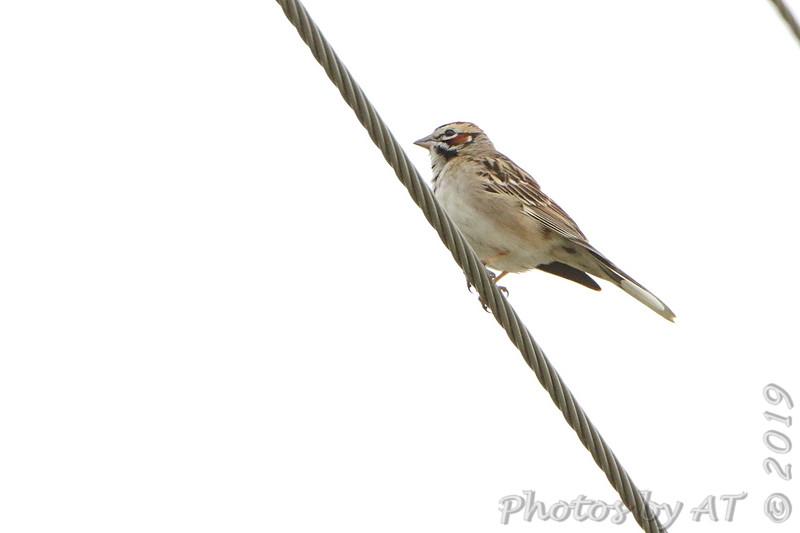 Lark Sparrow <br /> Eagle Bluffs Conservation Area