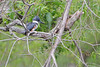 Belted Kingfisher <br /> Eagle Bluffs Conservation Area
