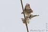 Lark Sparrows <br /> Eagle Bluffs Conservation Area
