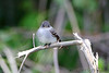 Eastern Wood-Pewee <br /> Eagle Bluffs Conservation Area