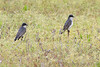 Eastern Kingbirds <br /> Eagle Bluffs Conservation Area