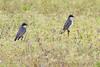 Eastern Kingbirds <br /> Eagle Bluffs Conservation Area