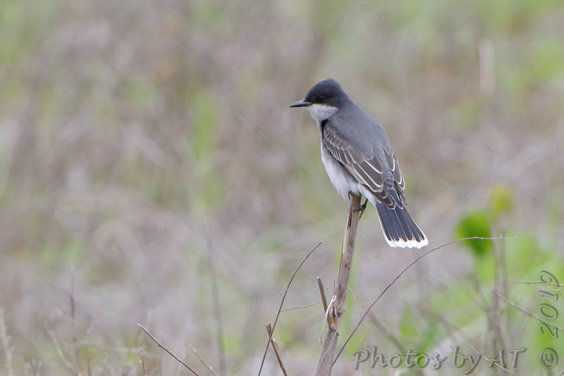 Eastern Kingbird <br /> Eagle Bluffs Conservation Area
