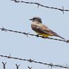 Western Kingbird <br /> Airport fence - Gist Road<br /> Bridgeton, Missouri