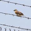 Dickcissel <br /> Airport fence - Gist Road<br /> Bridgeton, Missouri