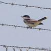 Eastern Kingbird <br /> Airport fence - Gist Road<br /> Bridgeton, Missouri
