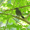 Gray Catbird <br /> Tower Grove Park