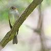 Eastern Wood-Pewee<br /> Tower Grove Park