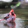 """Northern Cardinal <br> Tower Grove Park <br> 2019-05-17 12:55:17pm <br>  <span class=""""noShowSmart""""> <a href=""""/MyKeywords/Bird-Videos/n-gF9bt/i-PfBBCxx/A""""> <span style=""""color:yellow"""">Click here to open video in lightbox/full screen</span></a> </span>  <span class=""""noShowGallery""""> <a href=""""/Birds/2019-Birding/Birding-2019-May/2019-05-17-Tower-Grove-Park/i-PfBBCxx/A""""> <span style=""""color:yellow"""">Click here to open video in lightbox/full screen</span></a> </span>"""