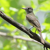 Great Crested Flycatcher <br /> Tower Grove Park