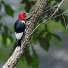 Red-headed Woodpecker <br /> Tower Grove Park