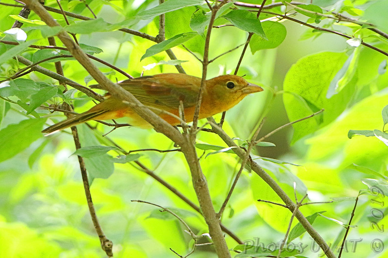 Summer Tanager <br /> Tower Grove Park