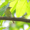 Philadelphia Vireo <br /> Tower Grove Park