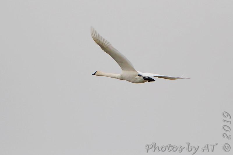 "Trumpeter Swan <span class=""spacer_LB_caption""> • </span> <br> Over Heron Pond <span class=""spacer_LB_caption""> • </span> <br> Riverlands Migratory Bird Sanctuary"