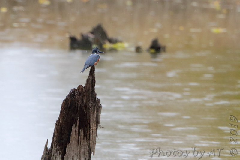 """Belted Kingfisher <span class=""""spacer_LB_caption""""> • </span> <br> Lincoln Shields Area  <span class=""""spacer_LB_caption""""> • </span> <br> Riverlands Migratory Bird Sanctuary  <span class=""""spacer_LB_caption""""> • </span> <br> St. Charles County, Missouri"""