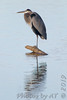 "Great Blue Heron  <span class=""spacer_LB_caption""> • </span> <br> Ellis Bay  <span class=""spacer_LB_caption""> • </span> <br> Riverlands Migratory Bird Sanctuary"