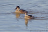 "Ruddy Ducks  <span class=""spacer_LB_caption""> • </span> <br> Ellis Bay  <span class=""spacer_LB_caption""> • </span> <br> Riverlands Migratory Bird Sanctuary"