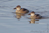 "Ruddy Ducks  <span class=""spacer_LB_caption""> • </span> <br> Ellis Bay  <span class=""spacer_LB_caption""> • </span> <br> Riverlands Migratory Bird Sanctuary"
