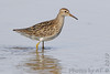"Pectoral Sandpiper <span class=""spacer_LB_caption""> • </span> <br> Mertz Road  <span class=""spacer_LB_caption""> • </span> <br> St Charles County"