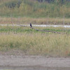 "Not a good day to bird with a Peregrine Falcon <br> overlooking the mud flats. <span class=""spacer_LB_caption""> • </span> <br> Mertz Road  <span class=""spacer_LB_caption""> • </span> <br> St. Charles County"