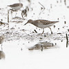 "Pectoral Sandpiper  <span class=""spacer_LB_caption""> • </span> <br> Mertz Road  <span class=""spacer_LB_caption""> • </span> <br> St. Charles County"