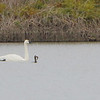 "Trumpeter Swan   <br> and Double-crested Cormorant  <span class=""spacer_LB_caption""> • </span> <br> Mertz Road  <span class=""spacer_LB_caption""> • </span> <br> St. Charles County"