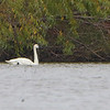 "Trumpeter Swan  <span class=""spacer_LB_caption""> • </span> <br> Mertz Road  <span class=""spacer_LB_caption""> • </span> <br> St. Charles County"