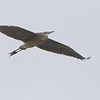 "Great Blue Heron  <span class=""spacer_LB_caption""> • </span> <br> Mertz Road  <span class=""spacer_LB_caption""> • </span> <br> St. Charles County"