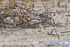"""Semipalmated Plover  <span class=""""spacer_LB_caption""""> • </span> <br> Mertz Road  <span class=""""spacer_LB_caption""""> • </span> <br> St Charles County"""