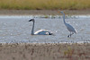 "Trumpeter Swan and Great Egret  <span class=""spacer_LB_caption""> • </span> <br> Mertz Road  <span class=""spacer_LB_caption""> • </span> <br> St Charles County"