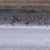"""Sandpipers in flight  <span class=""""spacer_LB_caption""""> • </span> <br> Intersection of Hwy H and Mertz/Power Roads  <span class=""""spacer_LB_caption""""> • </span> <br> St. Charles County, Missouri  <span class=""""spacer_LB_caption""""> • </span> <br> 2019-10-11 14:35:38 <br>  <span class=""""noShowSmart""""> <a href=""""/MyKeywords/Bird-Videos/n-gF9bt/i-FGx3b77/A""""> <span style=""""color:yellow"""">Click here to open video in lightbox/full screen</span></a> </span>  <span class=""""noShowGallery""""> <a href=""""/Birds/2019-Birding/Birding-2019-October/2019-10-11-St-Charles-County/i-FGx3b77/A""""> <span style=""""color:yellow"""">Click here to open video in lightbox/full screen</span></a> </span>"""