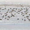 """Sandpipers  <span class=""""spacer_LB_caption""""> • </span> <br> Intersection of Hwy H and Mertz/Power Roads  <span class=""""spacer_LB_caption""""> • </span> <br> St. Charles County, Missouri"""