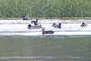 """American Black Duck  <span class=""""spacer_LB_caption""""> • </span> <br> Mallards and American Coot  <span class=""""spacer_LB_caption""""> • </span> <br> Heron Pond  <span class=""""spacer_LB_caption""""> • </span> <br> Riverlands Migratory Bird Sanctuary"""