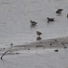 """Least Sandpipers  <span class=""""spacer_LB_caption""""> • </span> <br> Behind Teal Pond  <span class=""""spacer_LB_caption""""> • </span> <br> Riverlands Migratory Bird Sanctuary  <span class=""""spacer_LB_caption""""> • </span> <br> St. Charles County, Missouri <br> 2019-10-19 14:07:33 <br>  <span class=""""noShowSmart""""> <a href=""""/MyKeywords/Bird-Videos/n-gF9bt/i-v6fb586/A""""> <span style=""""color:yellow"""">Click here to open video in lightbox/full screen</span></a> </span>  <span class=""""noShowGallery""""> <a href=""""/Birds/2019-Birding/Birding-2019-October/2019-10-19-Riverlands-Migratory-Bird-Sanctuary/i-v6fb586/A""""> <span style=""""color:yellow"""">Click here to open video in lightbox/full screen</span></a> </span>"""