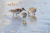 "Least Sandpipers <span class=""spacer_LB_caption""> • </span> <br> Mertz Road <span class=""spacer_LB_caption""> • </span> <br> St Charles County"